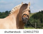 Portrait of nice fjord horse stallion - stock photo