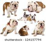 english bulldog in different poses - stock photo