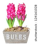 hyacinth flower bulbs in pot isolated on white background - stock photo