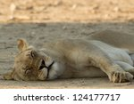 Lion napping - stock photo