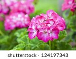 Pink bicolor geraniums in the home garden. - stock photo