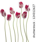 Stock photo studio shot of red and white colored tulip flowers isolated on white background large depth of 124312627