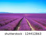 Lavender Flower Blooming...
