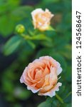 Stock photo beautiful pink rose in a garden 124568647