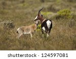 Bontebok antelope with calf, Bontebok National Park, South Africa - stock photo