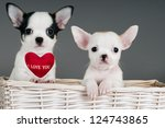 "Two Chihuahua puppies, 2 months old,  in a basket with sign ""I Love You"". - stock photo"