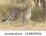A rare female King Cheetah (Acinonyx jubatus) in South Africa, running through the bushveld - stock photo