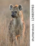Spotted Hyaena, (Crocuta crocuta) in South Africa's Kruger Park in the early morning light. - stock photo