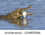 a Nile Crocodile with its fish catch, Kruger Park, South Africa. (Crocodylus niloticus) - stock photo