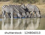 a small herd of Plain's Zebra drink from a natural pan in South Africa's Kruger park, (Equus quagga) - stock photo