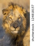 Portrait of a Male Lion (Panthera leo), in Kruger Park, South Africa - stock photo
