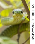 Male Boomslang snake, (Dispholidus typus), South Africa. Males are green and females brown - stock photo