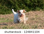 Nice clumber spaniel running - stock photo