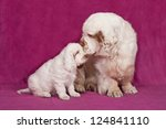 Portrait of nice clumber spaniel on pink background - stock photo