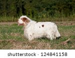 Portrait of nice clumber spaniel - stock photo