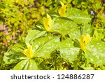 Small photo of Yellow, trillium luteum, bloom.