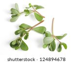 "Wild purslane growing in Qatar, Arabia. This ""weed"" makes a pleasant addition to salads and is grown commerically. It originated in arid countries and is well-adapted to hot climates. - stock photo"