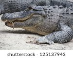 American Alligator At The...
