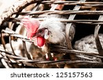 chickens in a cage at the... | Shutterstock . vector #125157563