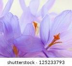 Crocus Flowers Detail.