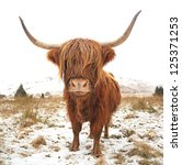 A Scottish Highland Cow On A...