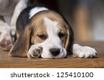 Sleepy Beagle puppy lying on the table - stock photo