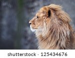Portrait of a lion in profile - stock photo