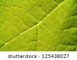 green grape vine leaf macro | Shutterstock . vector #125438027