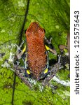 Small photo of Ecuadorian Poison Frog (Ameerega bilinguis) on a green leaf in the rainforest