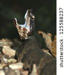 Small photo of Cottonmouth (Agkistrodon piscivorus) in Shawnee Hills National Forest of Illinois