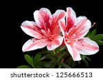 azalea flower isolated on black background - stock photo