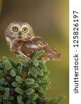 Small photo of Northern Saw-whet Owl (Aegolius acadicus) sitting on a tree