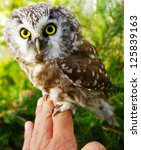 Small photo of Owl bird (Aegolius funereus) on a hand close up