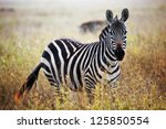Zebra portrait on African savanna. Safari in Serengeti, Tanzania - stock photo