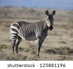 Mountain zebra, Mountain Zebra National Park, South Africa - stock photo