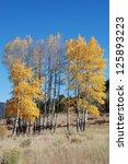 Golden Aspen Trees   A Cluster...