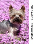Portrait of Yorkshire terrier in pink flowers - stock photo