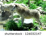 Gray Wolves Drink At Yellowstone National Park