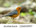 orange headed thrush  the most... | Shutterstock . vector #126043907