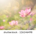 Lotus flowers in garden under sunlight. - stock photo