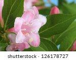 Closeup Of A Pink Honeysuckle...