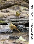 Small photo of bulbuls, two Puff-throated Bulbuls splosh water around forest food pond