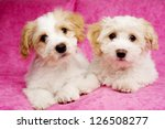 Two Bichon Frise Cross Puppies...