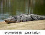 wild alligator sunning on golf course - stock photo