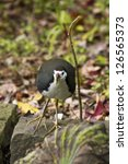 Small photo of White-breasted Waterhen in natural habitat,Amaurornis phoenicurus