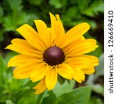 Bright yellow rudbeckia or Black Eyed Susan flowers - stock photo