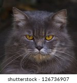 file of close up face of  persian cat - stock photo