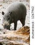 A Bearded Pig Sniffing Away Fo...