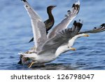 seagulls in flight in the... | Shutterstock . vector #126798047