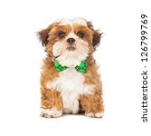 A young Shih Tzu and Bichon mix puppy wearing a green plaid bow tie - stock photo